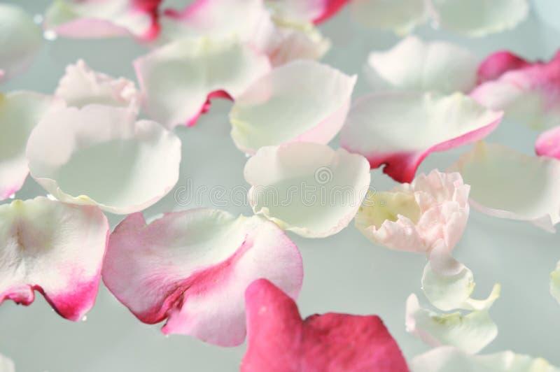 Floating Rose Petals stock photos