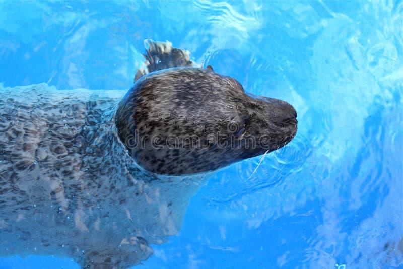 Download Floating seehund stock photo. Image of ocean, seehund - 26610520