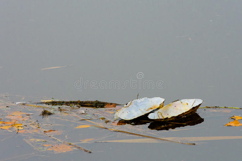 Floating swan mussel. Swan mussel floating on a river royalty free stock image