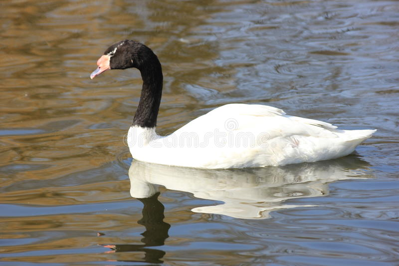 Floating Swan swans. In spring Sunny day stock photography