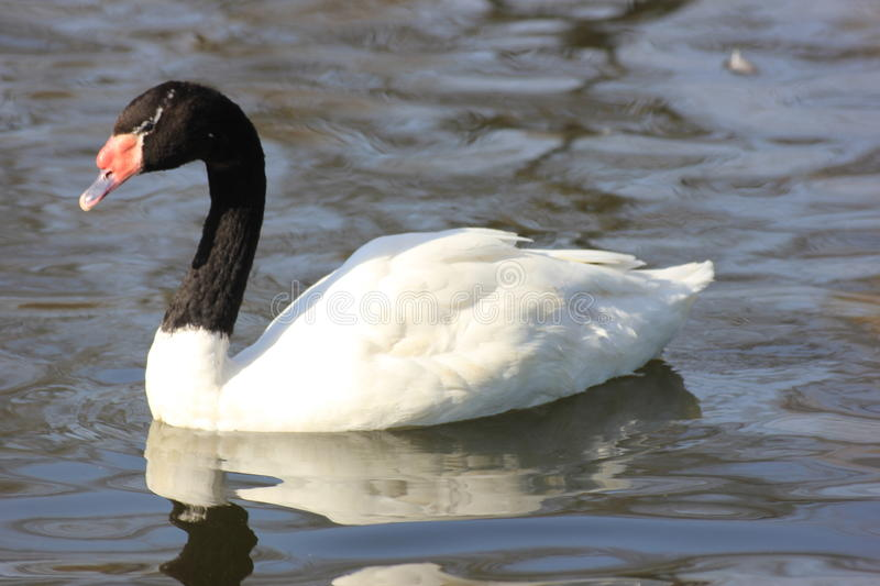 Floating Swan swans. In spring Sunny day royalty free stock photo