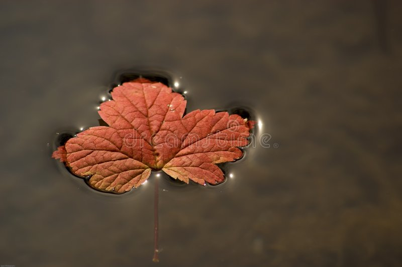 Floating vine maple leaf. An autumn vine maple leaf floats on a pond royalty free stock photo