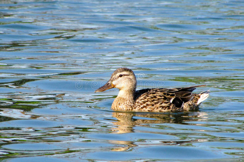 Floating in the water a duck stock photography