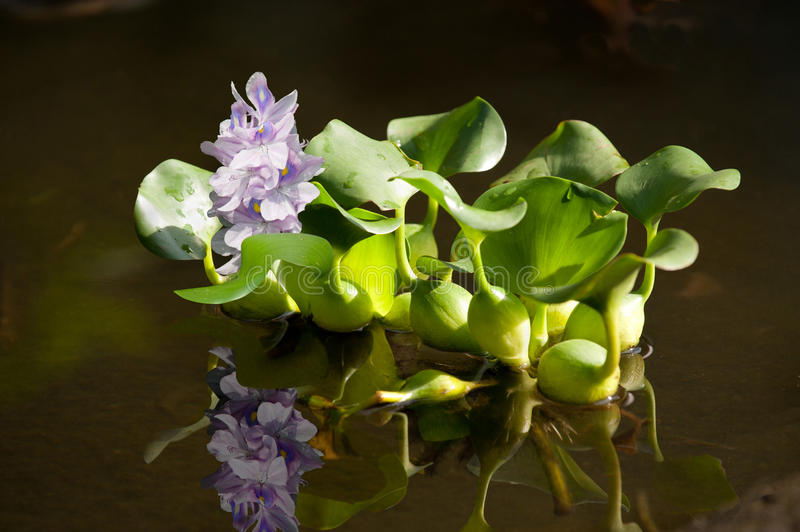 Floating water hyacinth. With reflexion stock image