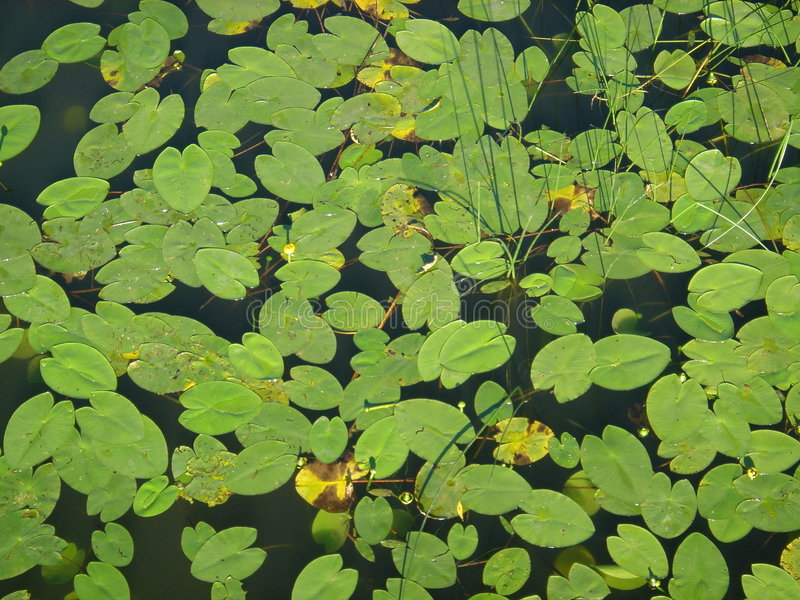 Floating water plants royalty free stock image