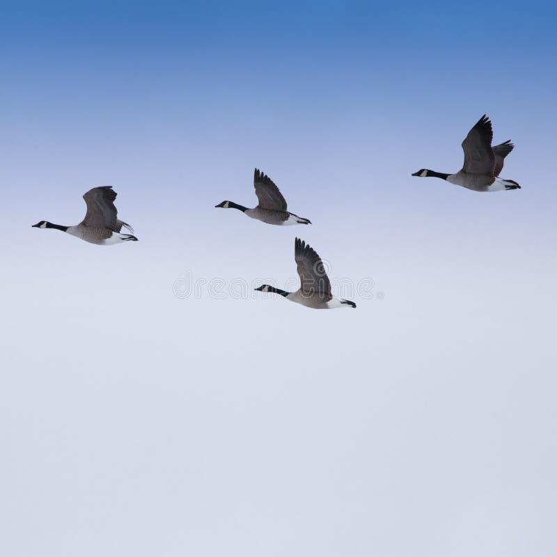 flock гусыни стоковые фото