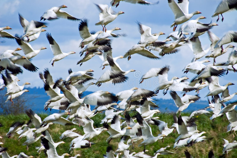Download In The Flock stock photo. Image of birds, geese, flock - 2275436