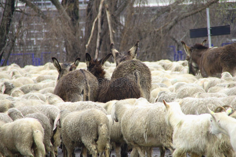 flock royaltyfri foto