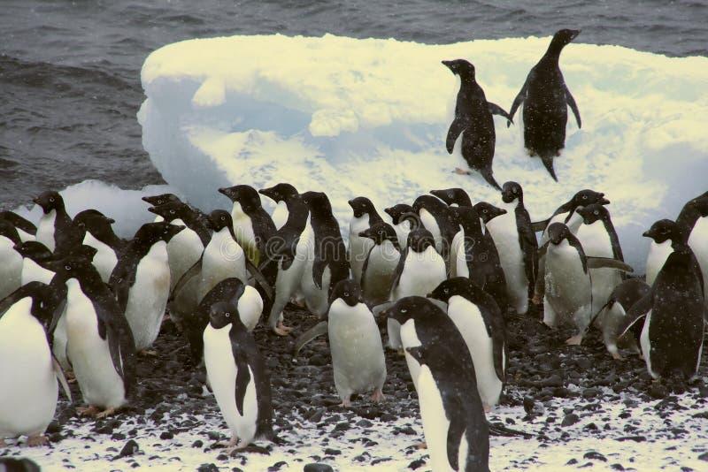 Flock of Adelie penguins stock photos