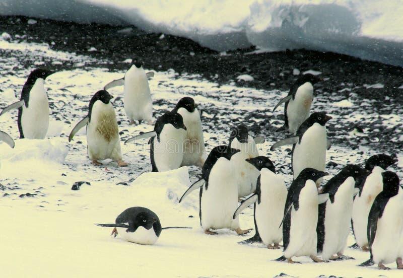 Flock of Adelie penguins stock image