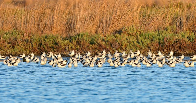 A Flock of American Avocets. Near the shore for the overnight rest stock images