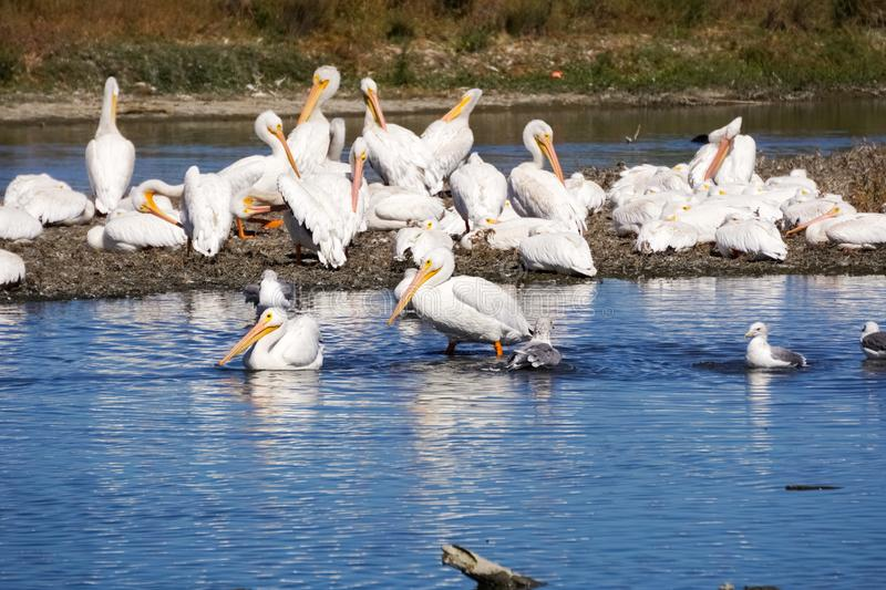 A flock of American white pelicans, Baylands Park, Palo Alto, San Francisco bay area, California stock image