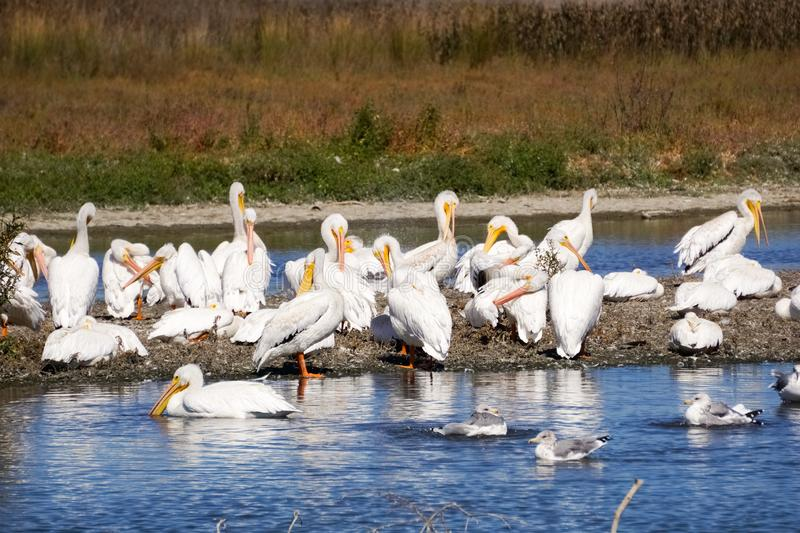 A flock of American white pelicans, Baylands Park, Palo Alto, San Francisco bay area, California royalty free stock photo
