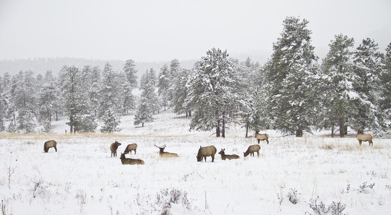 Flock av älgen i en bergäng i vinter royaltyfria bilder