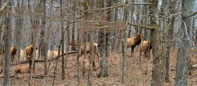 Flock av älgen som går i en skog royaltyfria bilder