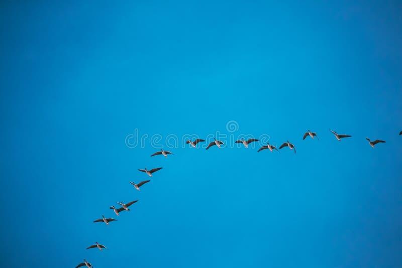 Flock av änder som flyger i Sunny Blue Spring Sky During deras flyttning i Vitryssland, Ryssland royaltyfri fotografi