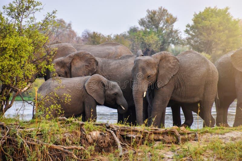 Flock av afrikanska elefanter på flodstrand royaltyfri bild