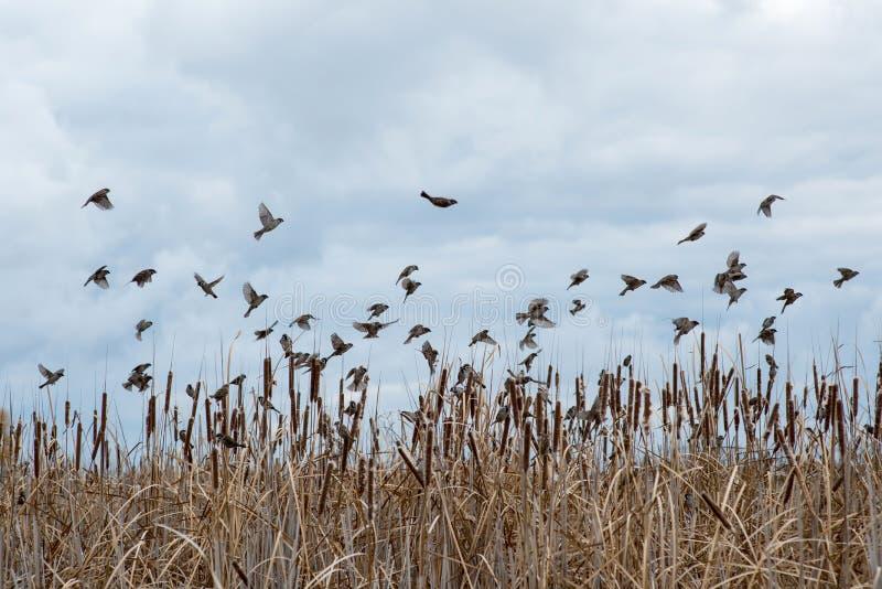 flock av att flyga för sparvar royaltyfri fotografi