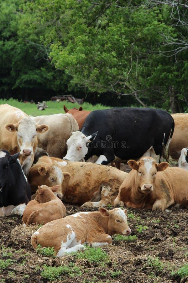 Flock av att koppla av kor arkivfoton