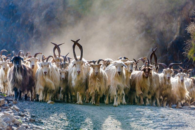 Flock av bergsfår royaltyfri fotografi