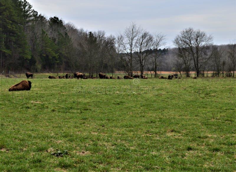 Flock av Bison Near en skog fotografering för bildbyråer
