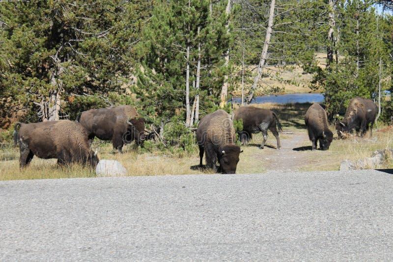 Flock av bisonen arkivbild