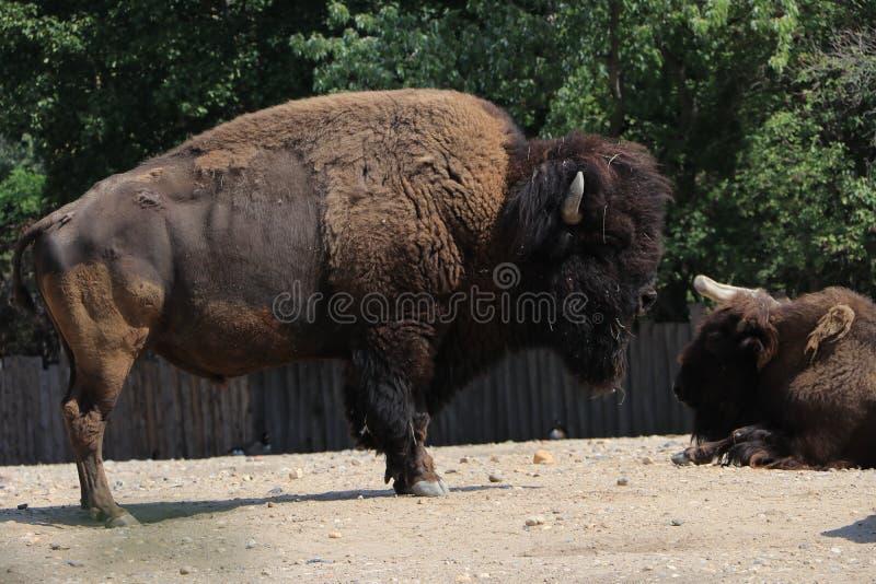 Flock av bisonen i beta arkivfoton