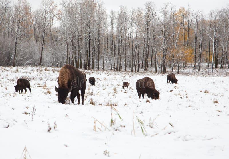 Flock av bisonen på en snöig slätt royaltyfria bilder