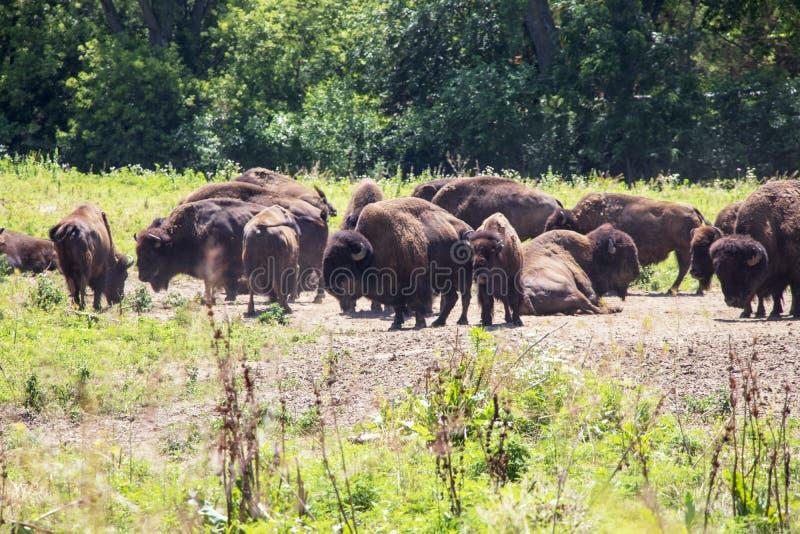 Flock av bisonen på ett område royaltyfria foton