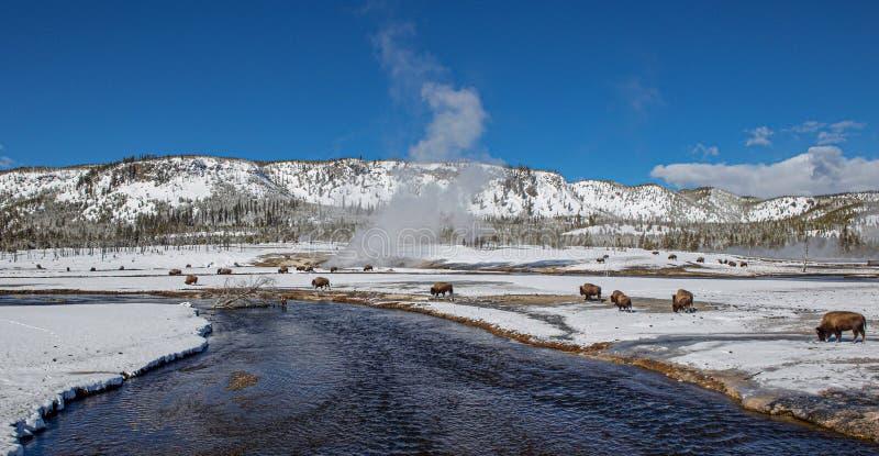 Flock av bisonen på floden i den Yellowstone nationalparken i vinter, Wyoming arkivfoton