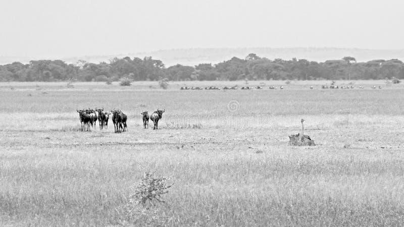 Flock av blåa gnu som betar, i svartvitt arkivfoton
