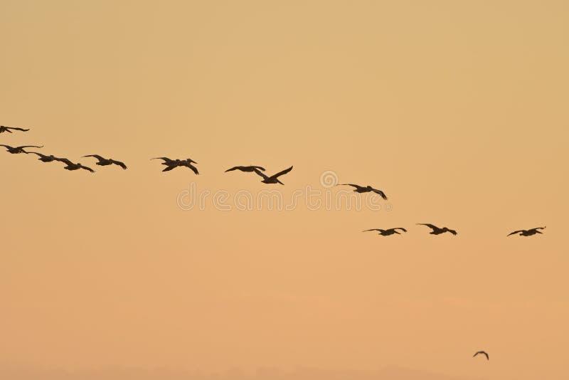 Flock av bruna pelikan i himlen royaltyfria bilder