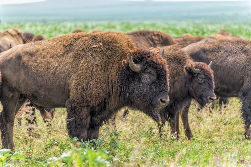 Flock av buffeln (bison) som betar på det North Dakota fältet arkivbild