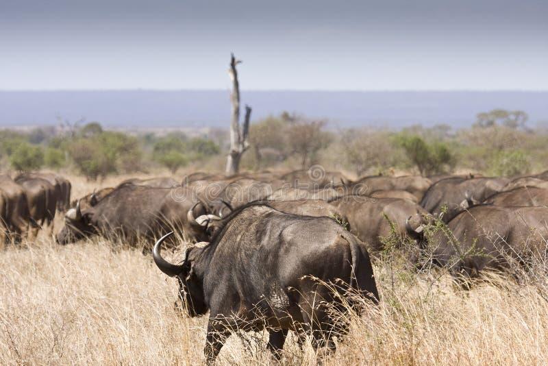 Flock av bufflar som går i busken, Kruger nationalpark, Sydafrika royaltyfria foton