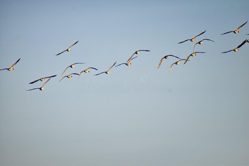 Flock av canadensisen för Kanada gässBranta i flykten mot blå himmel, stor lös art för en gås med ett svart huvud och halsen som  fotografering för bildbyråer