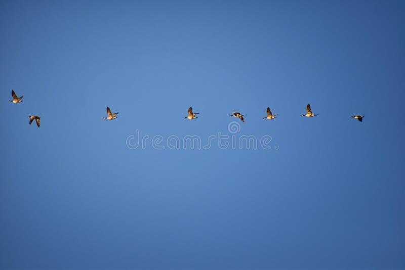 Flock av canadensisen för Kanada gässBranta i flykten mot blå himmel, stor lös art för en gås med ett svart huvud och halsen som  royaltyfri bild