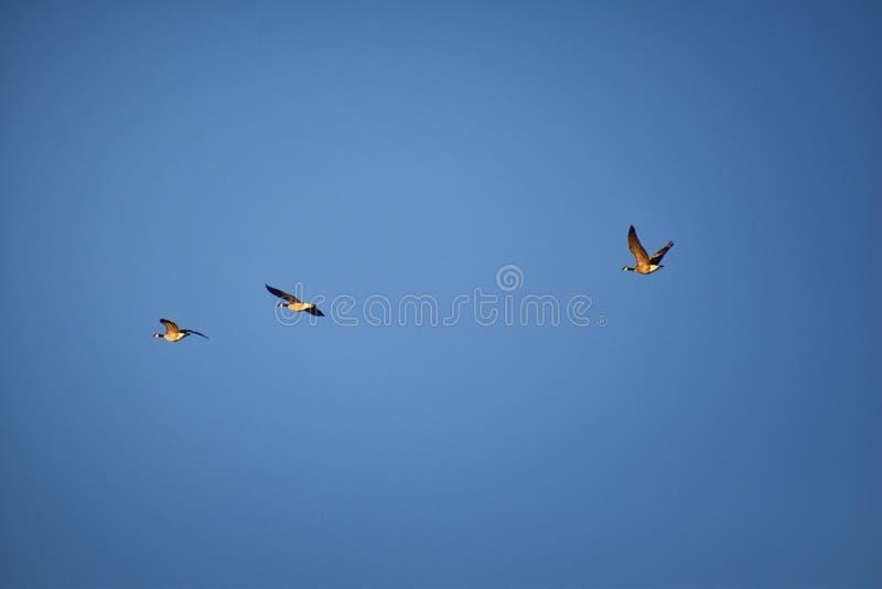 Flock av canadensisen för Kanada gässBranta i flykten mot blå himmel, stor lös art för en gås med ett svart huvud och halsen som  arkivfoto