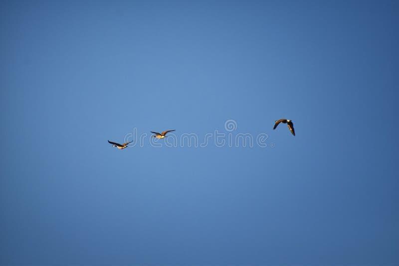 Flock av canadensisen för Kanada gässBranta i flykten mot blå himmel, stor lös art för en gås med ett svart huvud och halsen som  arkivfoton