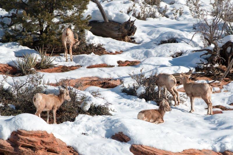 Flock av canadensisen för ovis för Bighornfår på solig vinterdag i Zion National Park i Utah USA royaltyfri bild