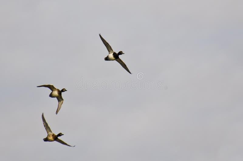 Flock av Cirkel-hånglade änder som flyger i en molnig himmel royaltyfri bild