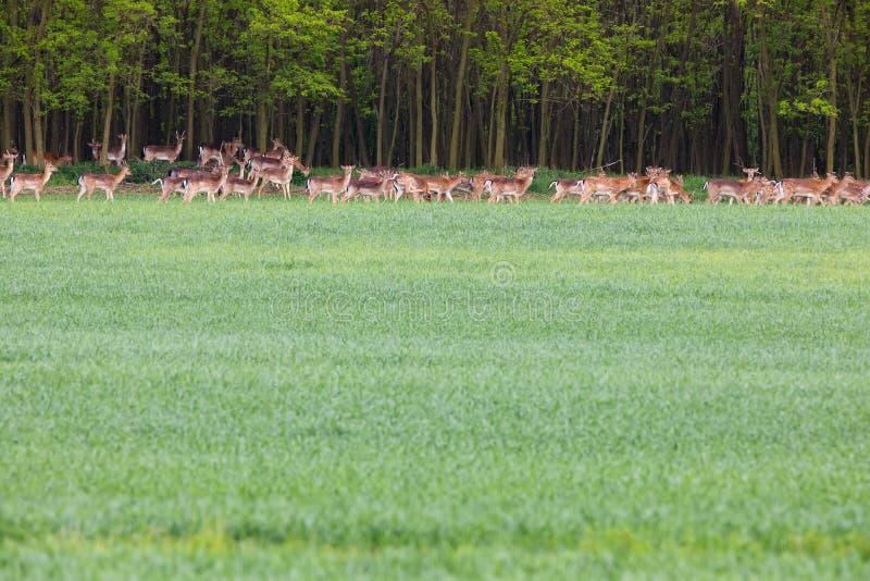 Flock av deers av det gröna fältet nära skog - fritt liv royaltyfri fotografi
