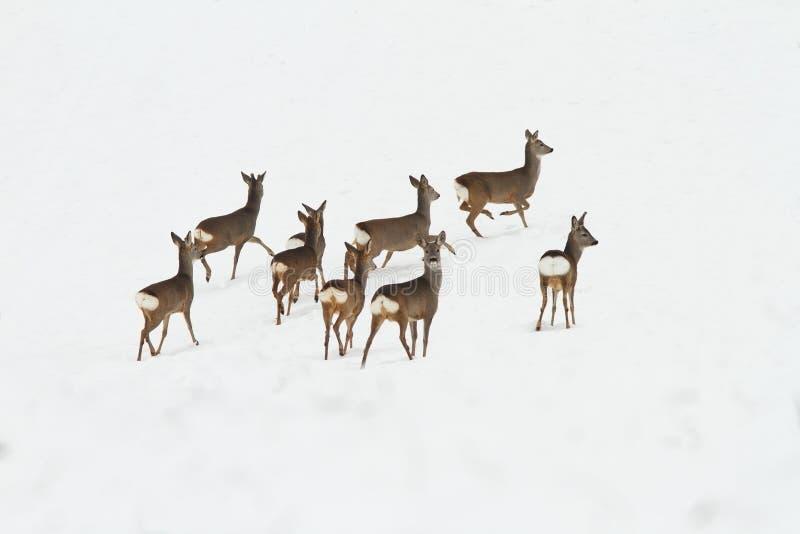Flock av deers på snö royaltyfri bild