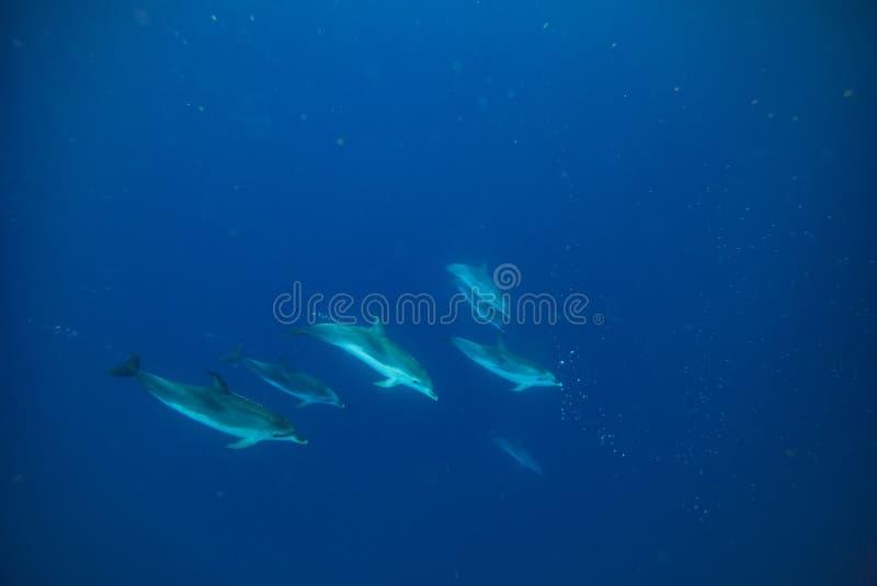 Flock av delfin som är undervattens- i blått fotografering för bildbyråer