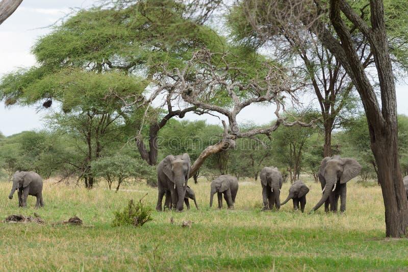 Flock av den afrikanska elefanten arkivbilder
