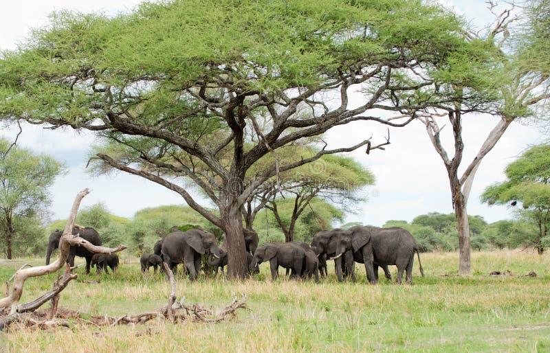Flock av den afrikanska elefanten royaltyfri bild