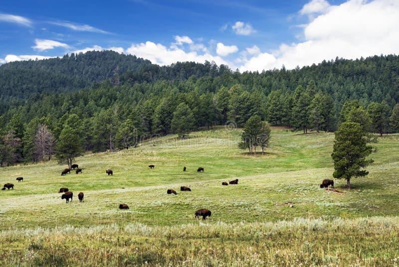 Flock av den amerikanska bisonen, Custer State Park, South Dakota, USA arkivbild