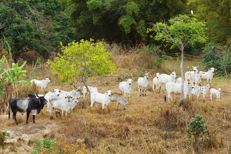 Flock av den brasilianska tjuren för nötköttnötkreatur - nellore, vit ko royaltyfri foto