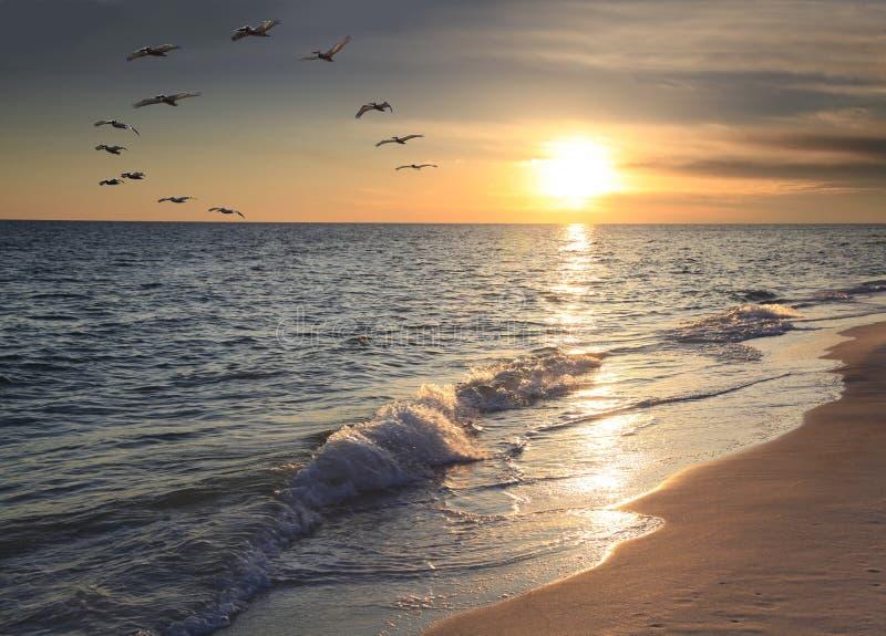 Flock av den bruna pelikanflugan över stranden på solnedgången royaltyfria foton