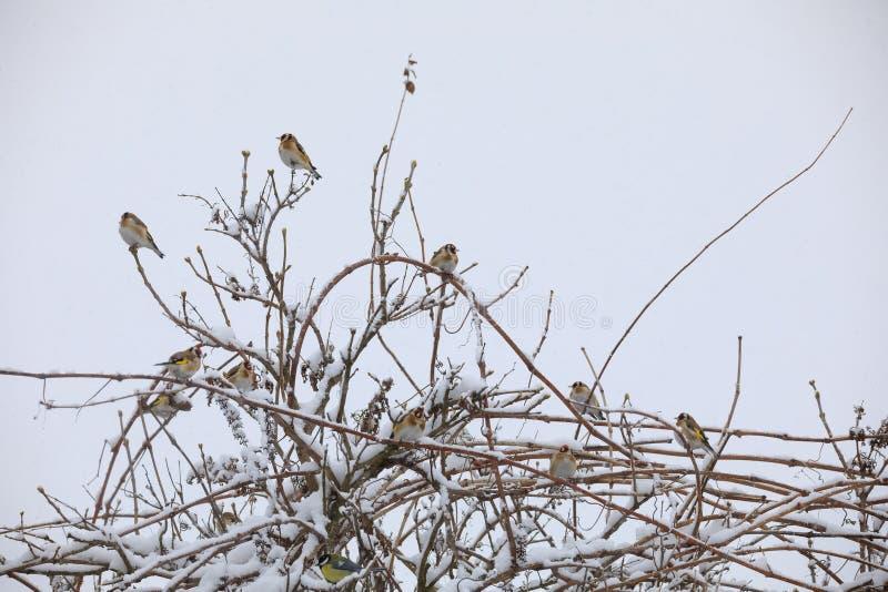 Flock av den europeiska steglitens för liten fågel i vinter royaltyfri foto