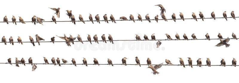Flock av den gemensamma staren, Sturnus som är vulgaris, på elektricitetstrådar Många fåglar på vit bakgrund arkivbilder